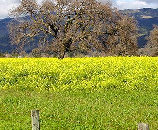 Mustard-in-the-field2
